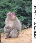 Japanese Snow Monkey Holding...