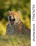 A Cheetah Photographed At The...
