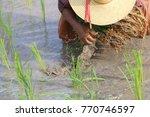 transplant rice seedlings rice... | Shutterstock . vector #770746597