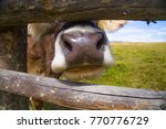 The Cow Pokes Its Nose Through...
