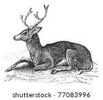 Mule deer or Odocoileus hemionus vintage engraving. Old engraved illustration of mule deer. Trousset encyclopedia.