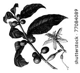 coffea  or coffee shrub and...   Shutterstock .eps vector #77084089