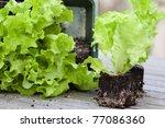Lettuce Seedlings With Root...