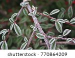 Frozen Branch Of Cotoneaster...