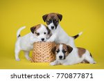 Stock photo three white puppy jack russell terrier with a wicker basket on yellow background 770877871