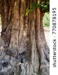 Small photo of Huge acacia tree with gnarled trunk age many hundreds of years, India, maximum growths of cortex, plank-buttress root; tabular root, old Mimosa