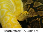 Small photo of Indian python, also called black-tailed python or Indian rock python on a close up horizontal picture. A large snake species occuring in Asia. Specimen with extraordinary albinotic color.