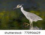 yellow crowned night heron ... | Shutterstock . vector #770906629