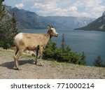 mountain goat at lake minnewanka | Shutterstock . vector #771000214