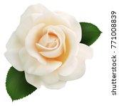 Stock vector realistic milk rose queen of beauty 771008839
