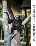 Small photo of Agile Gibbon or Dark Handed Gibbon in Thai, Thailand.