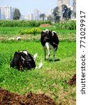 two black and white cows in a...   Shutterstock . vector #771029917