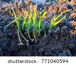 germination of wheat seeds in...   Shutterstock . vector #771040594