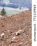 Small photo of American Badger at Yellowstone