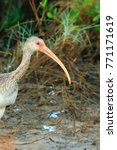 a juvenile white ibis wading... | Shutterstock . vector #771171619