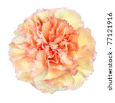Pink Yellow Carnation Flower Isolated on White Background. Closeup on Clove Pink Flower - stock photo