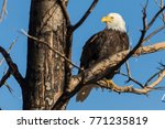 bald eagle sitting in a tree in ...   Shutterstock . vector #771235819