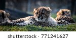 cheetah cubs laying with mother ... | Shutterstock . vector #771241627