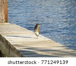 A Green Heron Standing On A...