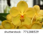 """Small photo of Yellow """"Ascocenda Orchid"""" flowers (abbreviated as Ascda)"""