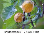 detail of cocoa plant tree with ...