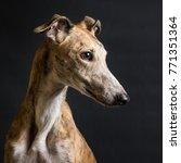 Spanish Greyhound Portrait In...