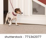 Stock photo dog waiting in front of door ready for a walk jack russell terrier 771362077