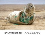 Stock photo a grey seal at horsey beach in norfolk england tragically caught in a section of fishing net an 771362797