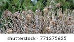 a group of sparrows on bush | Shutterstock . vector #771375625