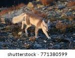arctic fox  white fox   polar... | Shutterstock . vector #771380599