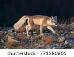 arctic fox  white fox   polar... | Shutterstock . vector #771380605