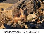 arctic fox  white fox   polar... | Shutterstock . vector #771380611