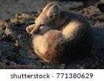 arctic fox  white fox   polar... | Shutterstock . vector #771380629