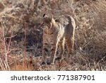 bobcat lynx rufus bosque del...   Shutterstock . vector #771387901