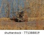 bobcat lynx rufus bosque del...   Shutterstock . vector #771388819