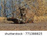 bobcat lynx rufus bosque del...   Shutterstock . vector #771388825