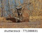 bobcat lynx rufus bosque del...   Shutterstock . vector #771388831