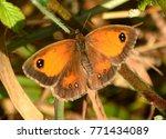 Small photo of Gatekeeper butterfly, latin name: pyronia tithionus