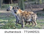 hyena in the zoo | Shutterstock . vector #771440521