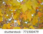 yellow leaves on the branches... | Shutterstock . vector #771500479