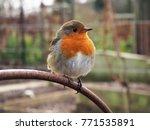 robin  erithacus rubecula ... | Shutterstock . vector #771535891