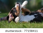 Stock photo playing mountain dog 77158411