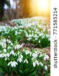 white snowdrop flowers in spring   Shutterstock . vector #771585214