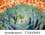 Small photo of Specimen plant of Agave parryi, a slow-growing agave native to Central America. A solitary rosette with grey green leaves and dark spine at the tip. It can store water and survive in hot dry habitat.