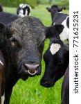 Fresian Bull On Irish Farm