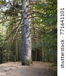 Small photo of Fir tree Abies alba in Pyrenees.