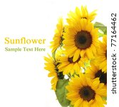 Sunflower. White Background