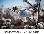 cotton ready to be picked  2   Shutterstock . vector #771645385