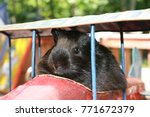 Small photo of Guinea pig as a fearless toy airplane pilot.