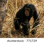 Baby Chimpanzee Walks Through...